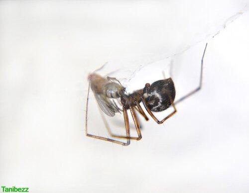 Лептифантес / Lepthyphantes Nebulosus и дрозофила