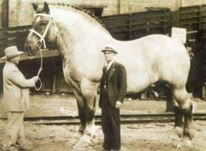 Самая большая лошадь в мировой истории: Кличка Сампсон (Sampson)