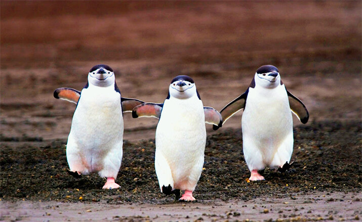 Пингвины - животные из дикой природы, интересные кадры