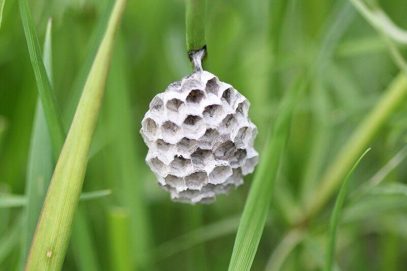 Осиное гнездо на травинке в стадии строительства