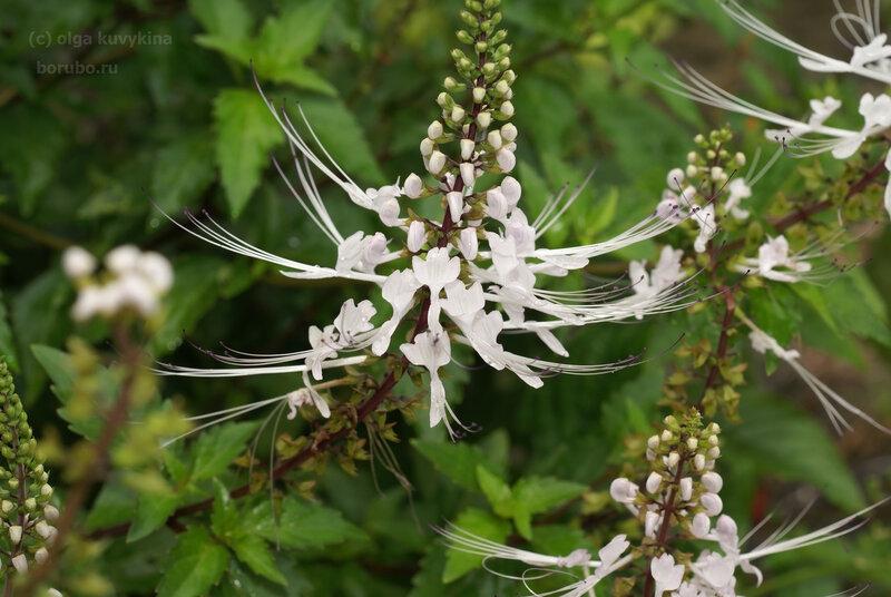 Почечный чай, или ортосифон тычиночный (Orthosiphon stamineus)