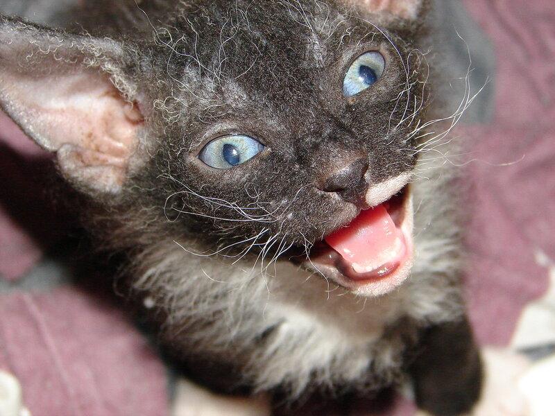 Котёнок-летучая мышь