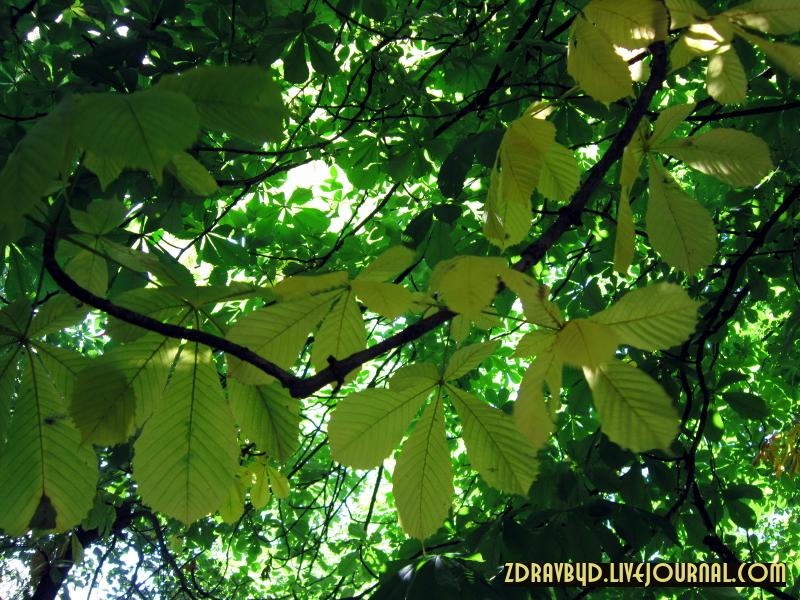 желтые листья летом