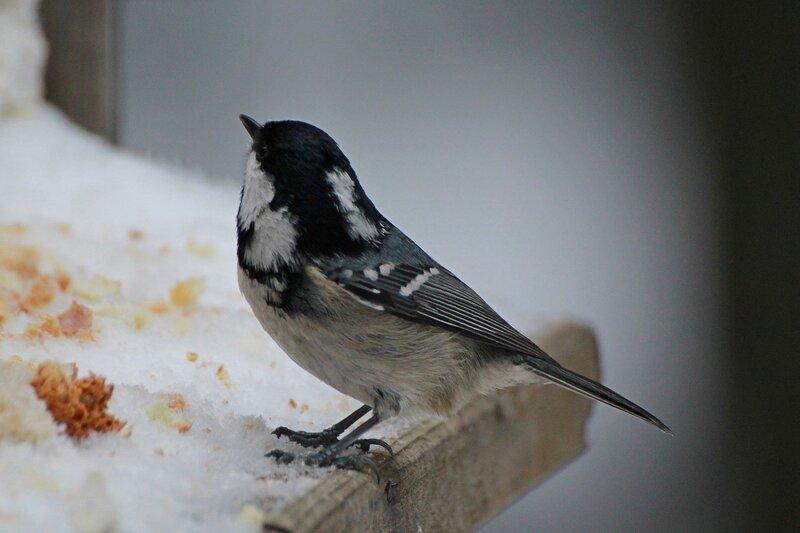 Московка (чёрная синица, Periparus ater или Parus ater) IMG_0781