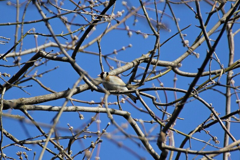 Щегол (Carduelis carduelis) на лиственнице в гагаринском парке