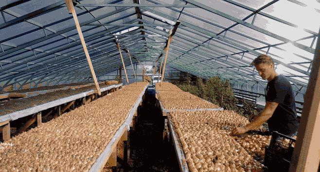 выращивание лука на перо в наших теплицах