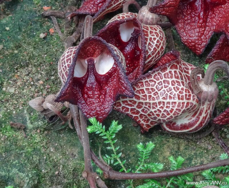 Несмотря на хищный вид это вполне безобидный Кирказон сальвадорский. А цветки такие сложные, чтобы в погоне за нектаром насекомые хорошенько перемазались в пыльце.