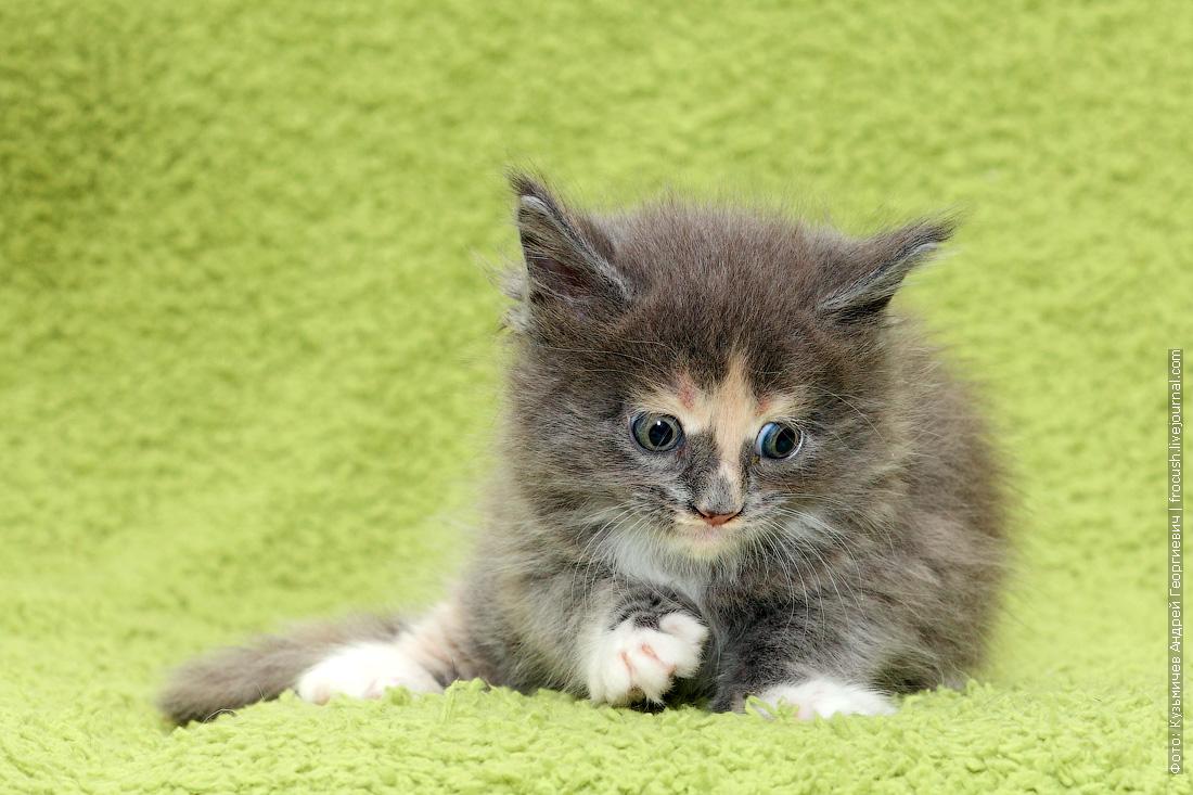 купить в питомнике в Москве котята Мейн-кун