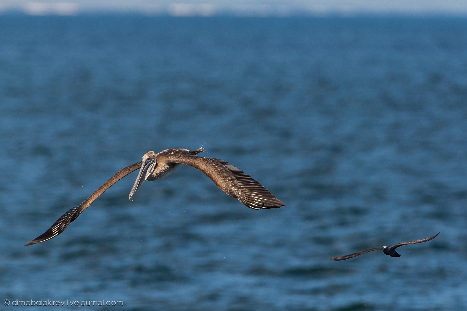 Как ловят рыбу пеликаны