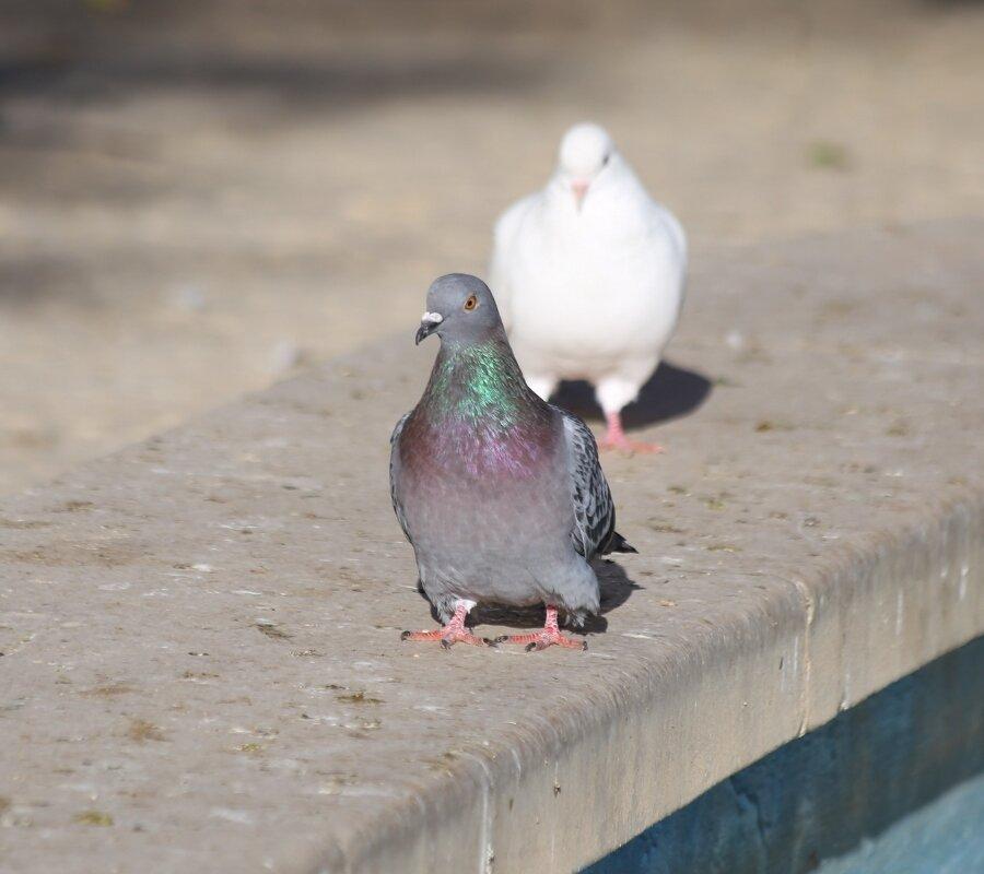 Бенидорм. Парк Паломас (Parque de las palomas). Влюблённые голуби