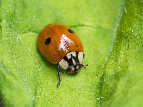 Coccinellidae Автор фото: Владимир Брюхов