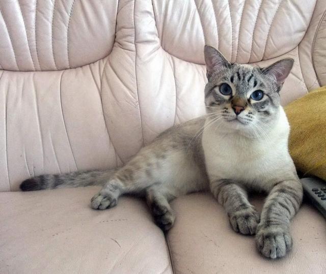 Тайский мальчик кот