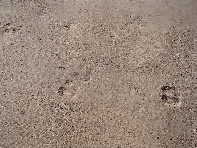 следы копыт на бетоне