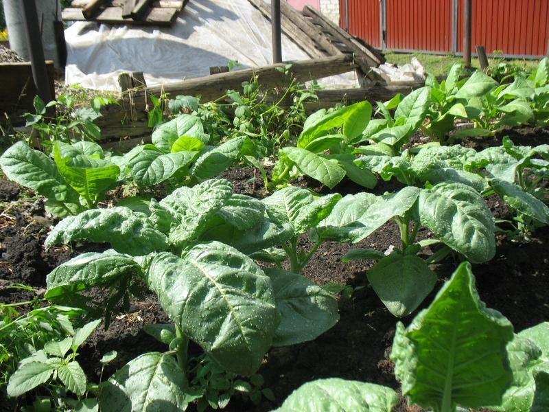 Выращивание табака в средней полосе россии 91