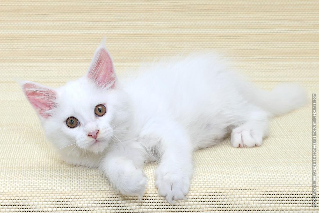 котенок мейн-кун продам