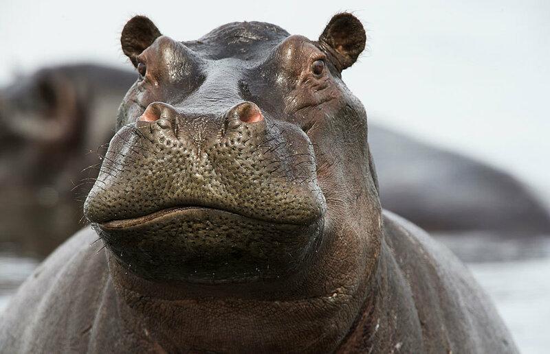 Смешные картинки про бегемота