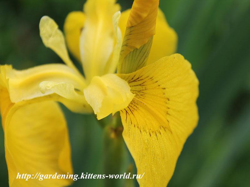 12 Многолетников для цветников, не требующие ухода - Ирисы