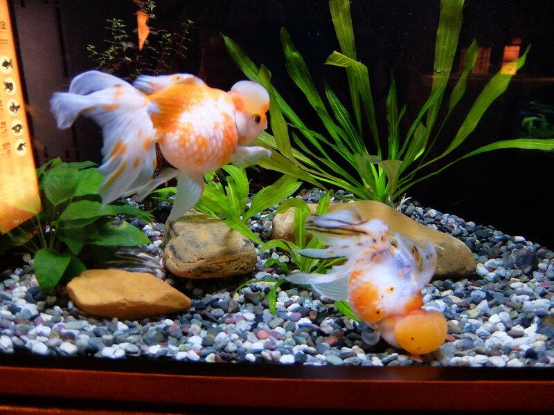 Гонконг - Oкеанический парк - Золотые рыбки