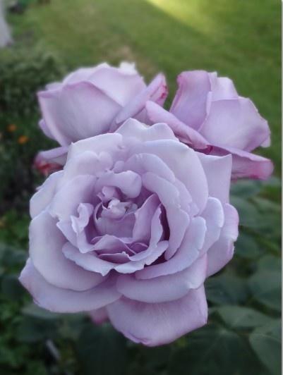 Цветник синий - цветник надежды-роза
