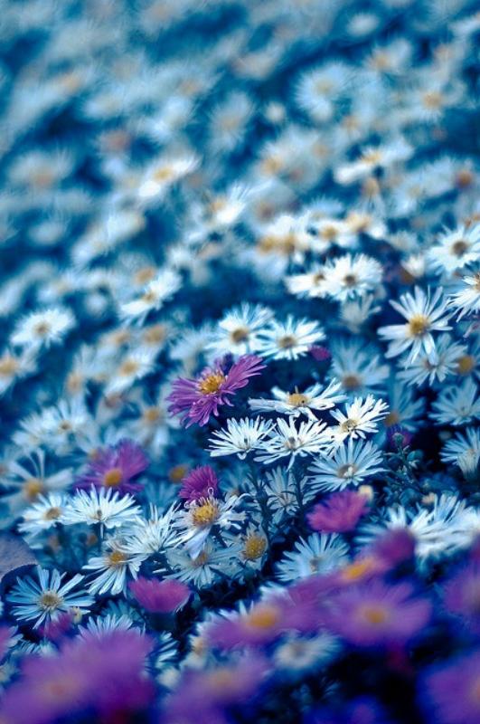 Цветник синий - цветник надежды-хризантема