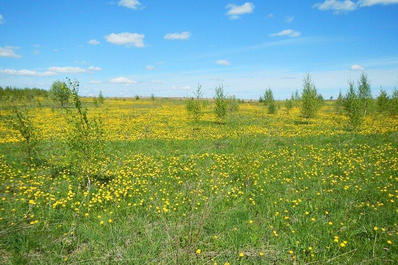 Яранские зарисовки: зарастающее берёзками цветущее жёлтое поле