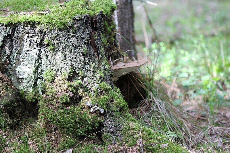 Пень с крылечком из гриба-трутовика