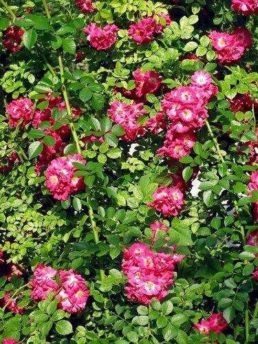 Любимые плетистые розы райского садика