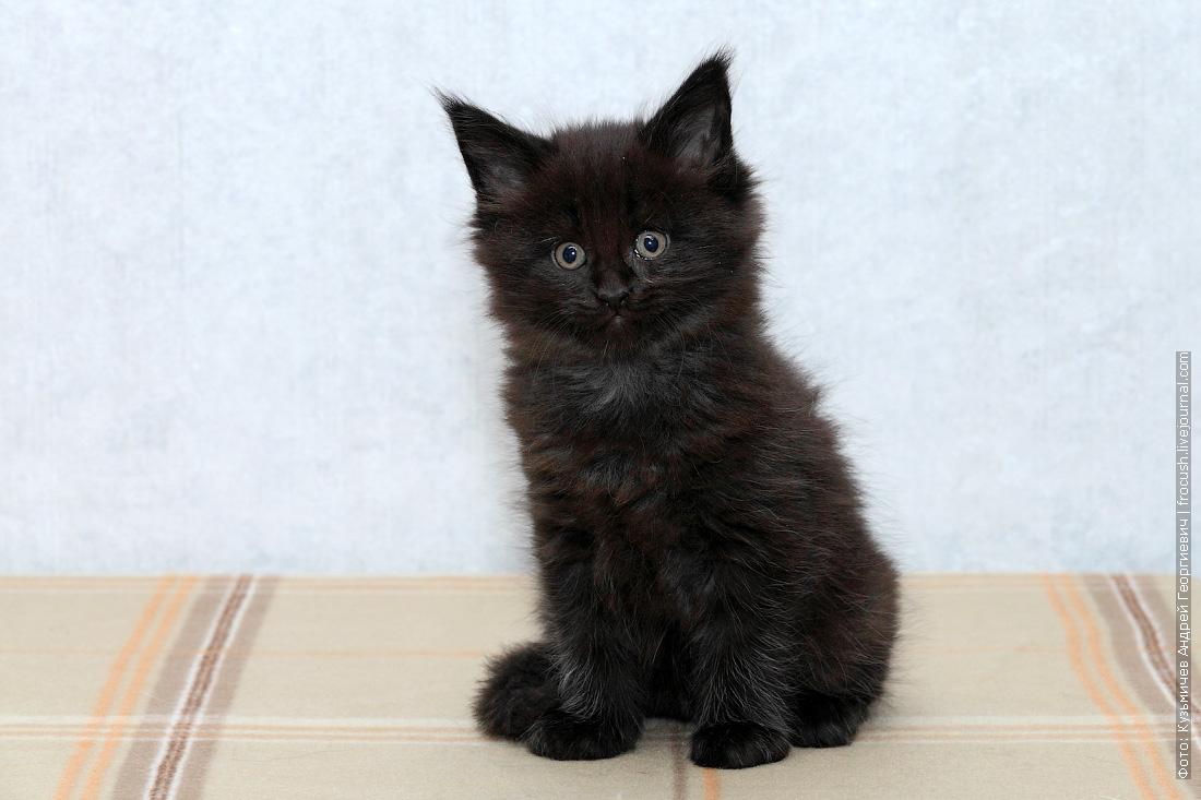 купить котята мейн кун в Москве