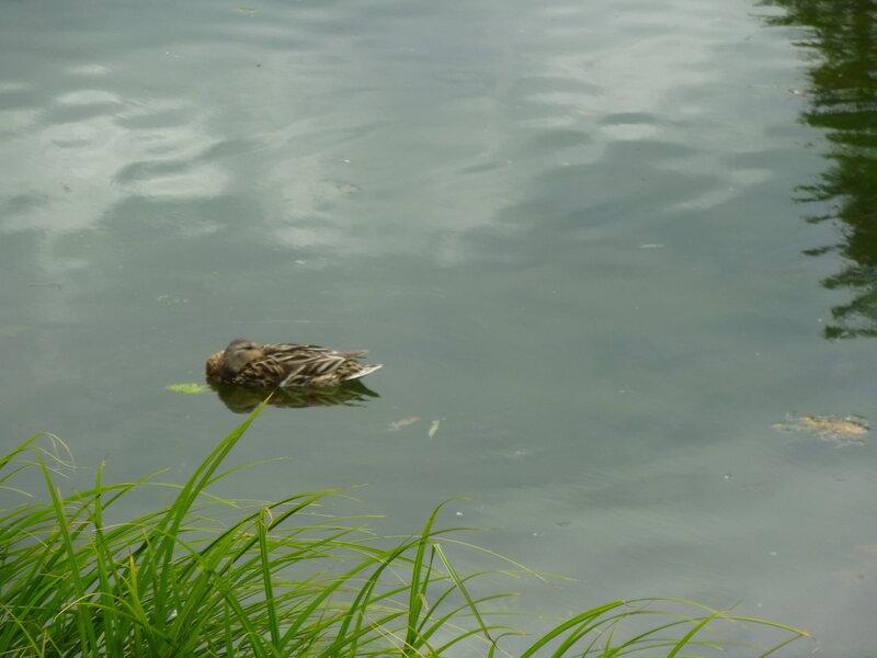 Сплючая утка