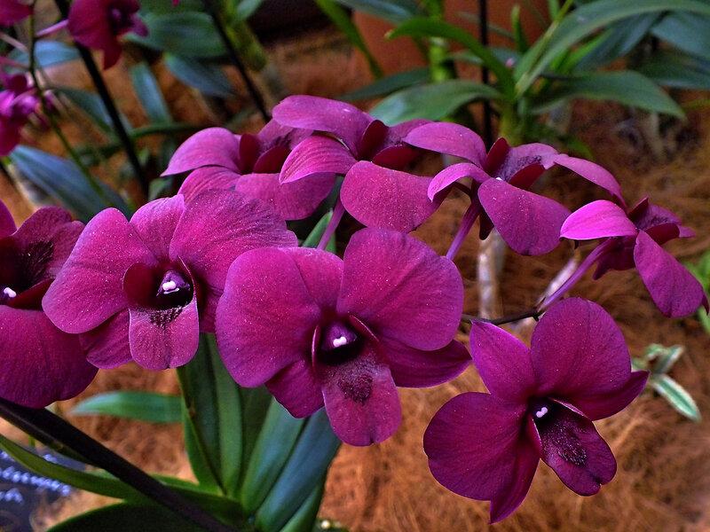 Орхидеи- бабочки, которые не летают