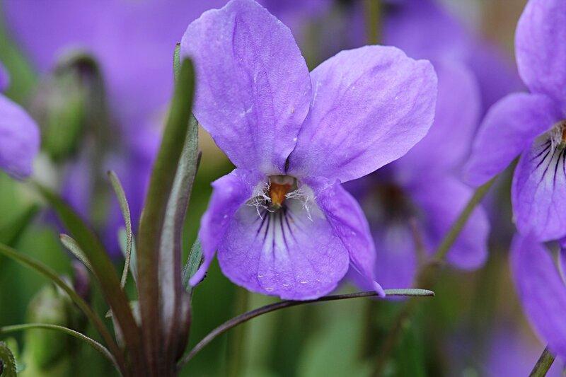 Фиалка собачья (лат. Viola canina), цветки