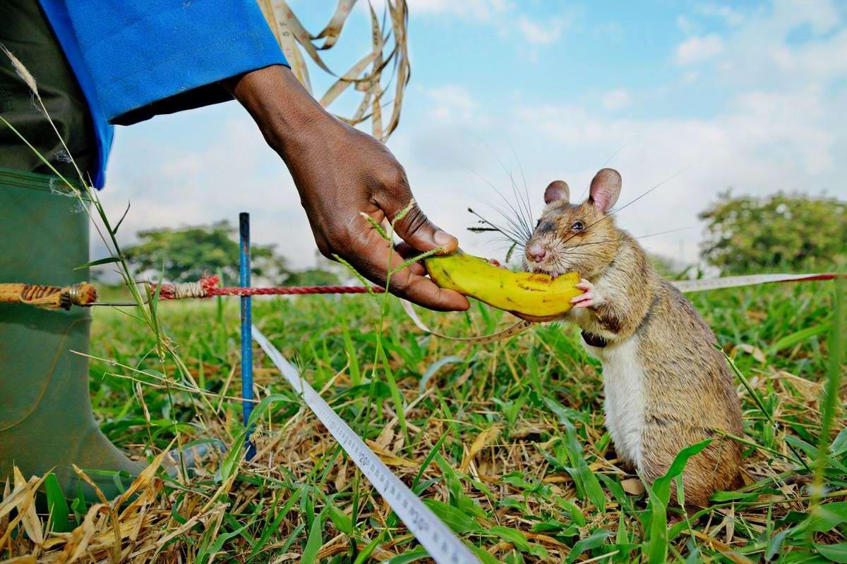 Гамбийские крысы, как лучшие саперы и вынюхиватели противопехотных мин (7)