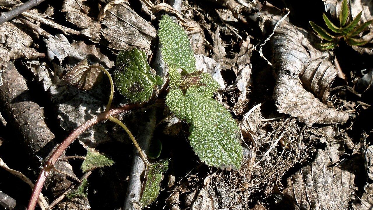 Яснотка крапчатая (Lamium maculatum). Автор фото: Сергей Апполонов