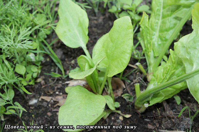 Щавель: как вырастить и собрать хороший урожай щавеля