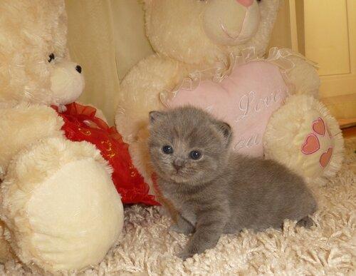 Британские котята из питомника Camelot Castle 0_e7310_322dd1c0_L