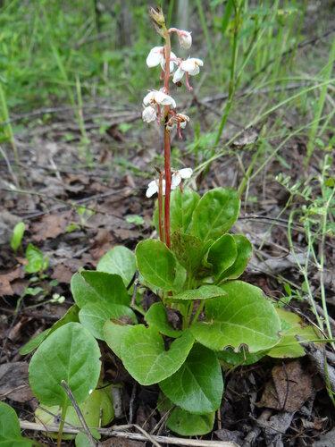 Грушанка круглолистная (Pyrola rotundifolia) Автор фото: Привалова Марина
