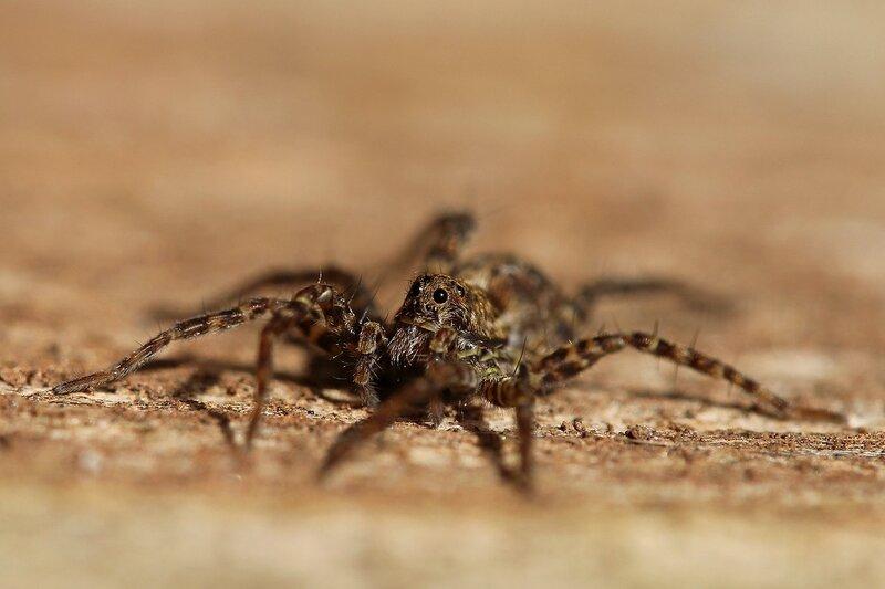 Портрет паука-волка (Lycosidae), возможно из рода Pardosa IMG_4167