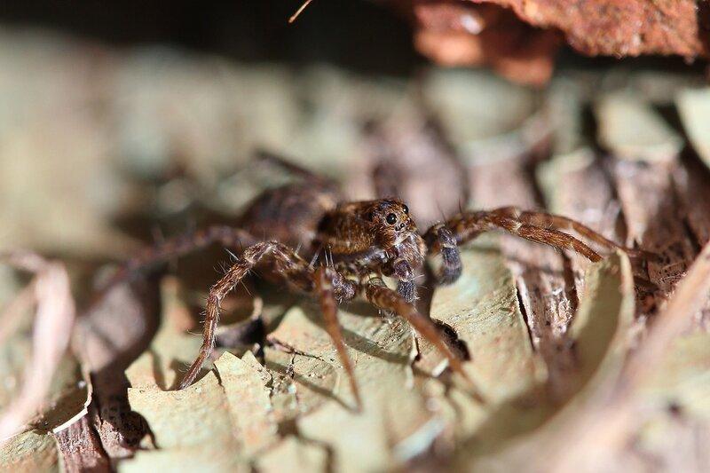 Портрет паука-волка (Lycosidae), возможно из рода Pardosa IMG_4408