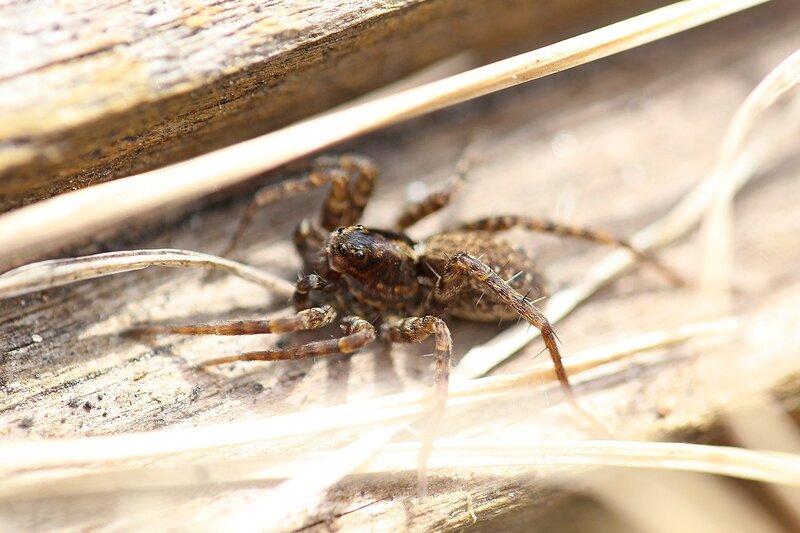 Портрет паука-волка (Lycosidae), возможно из рода Pardosa IMG_4441