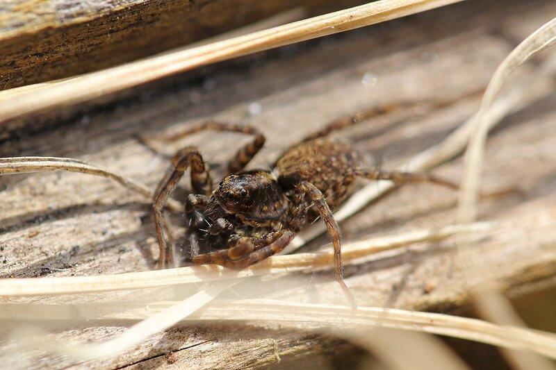 Портрет паука-волка (Lycosidae), возможно из рода Pardosa IMG_4469