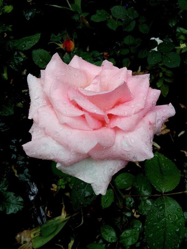 Роза-8.jpg