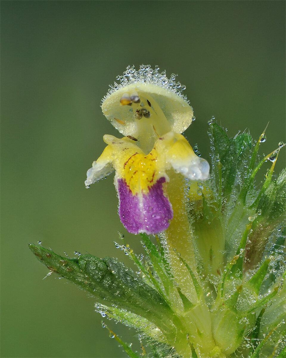 Пикульник красивый (Galeopsis speciosa) Автор фото: Владимир Брюхов