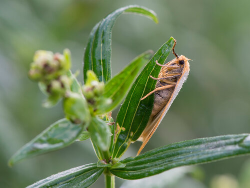Альбом:  Мир под ногами/  Чешуекрылые - Lepidoptera / Erebidae Автор фото: Владимир Брюхов