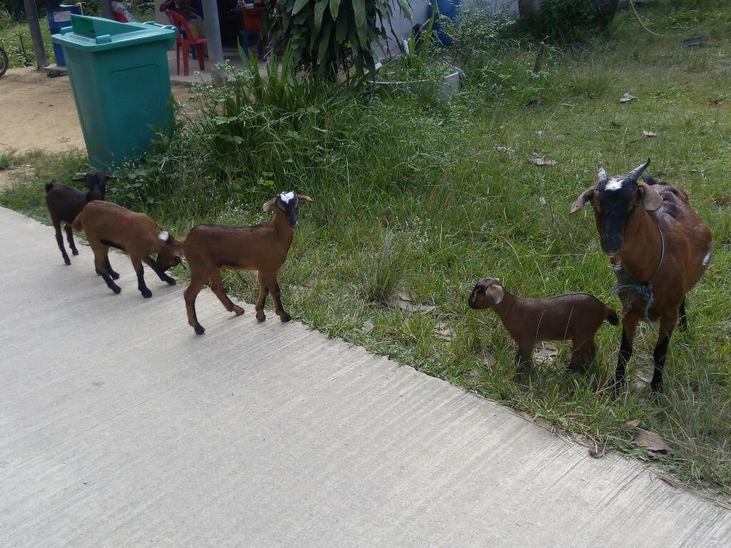 фото Ко Мук козы