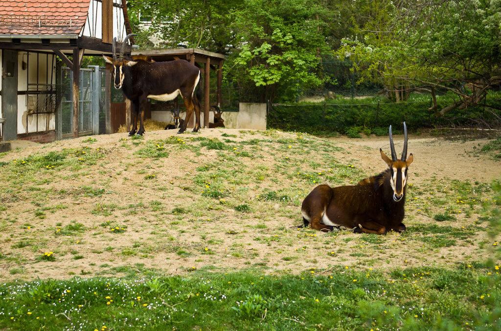 Антилопы - жители африканский саванн. Поездка в зоопарк Франкфурта самостоятельно.