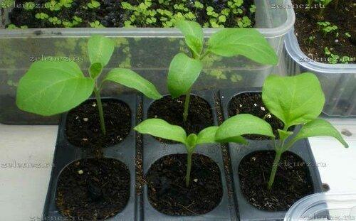 Рассада баклажанов выращивание