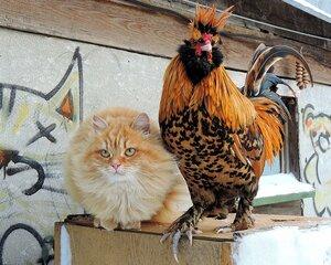 Бременские МузыкантыКошка Солнышко  и Золотой петушок, старинная русская павловская порода кур - утраченная ...... а теперь восстанавливаемая в РОССИИ и во всём мире.
