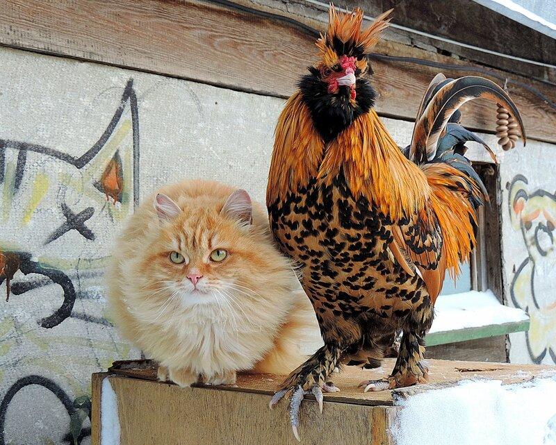 Жили - Были Кот да Петух