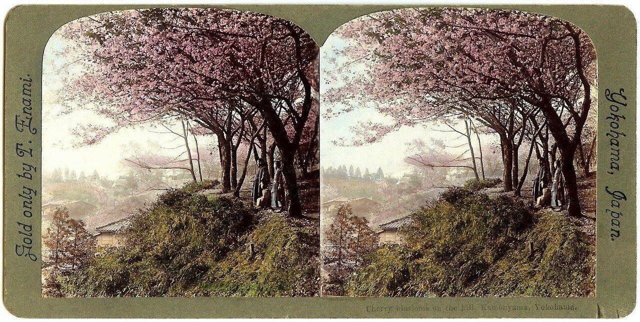 Иокогама. Цветение вишни на холме