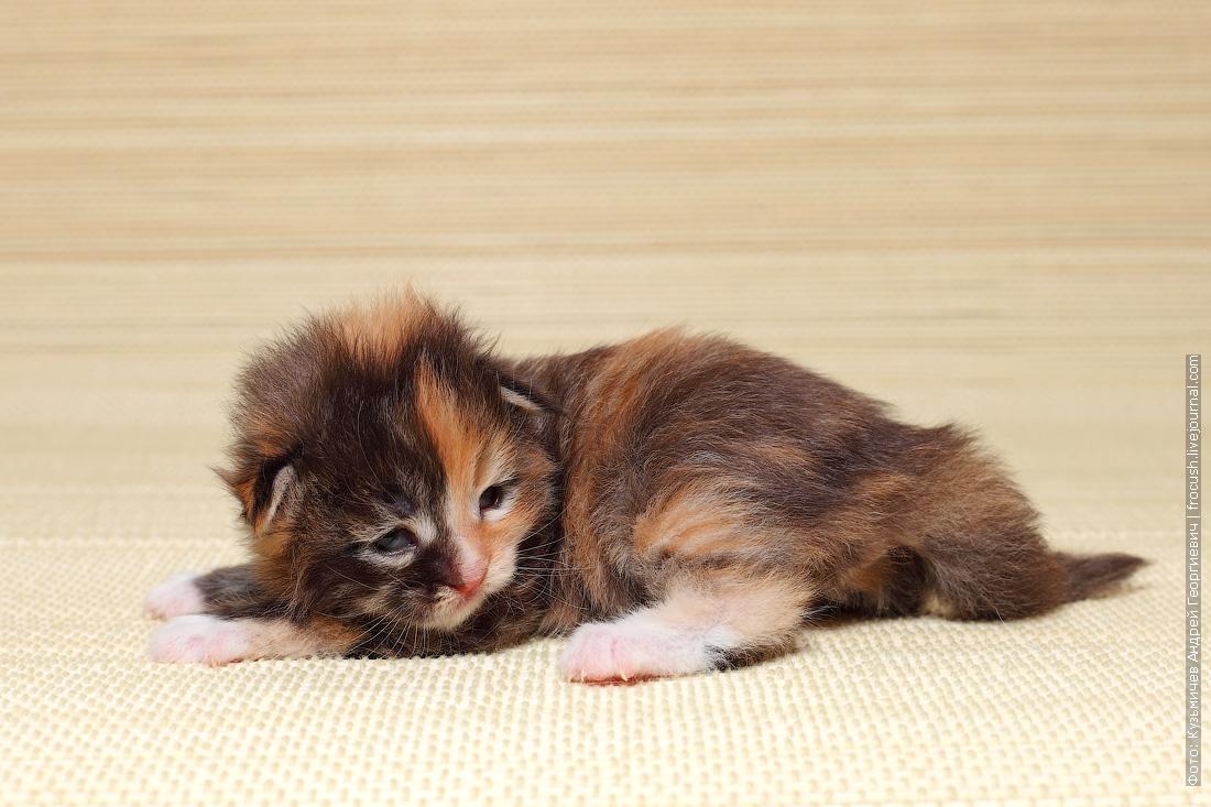 купить кошка Мейн-кун котенок